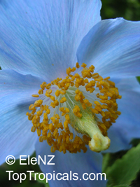 Meconopsis sp., Blue Poppy