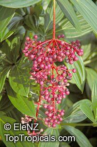 Medinilla speciosa, Showy melastome  Click to see full-size image