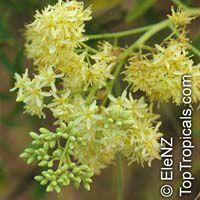 Moringa drouhardii, Malagasy MoringaClick to see full-size image