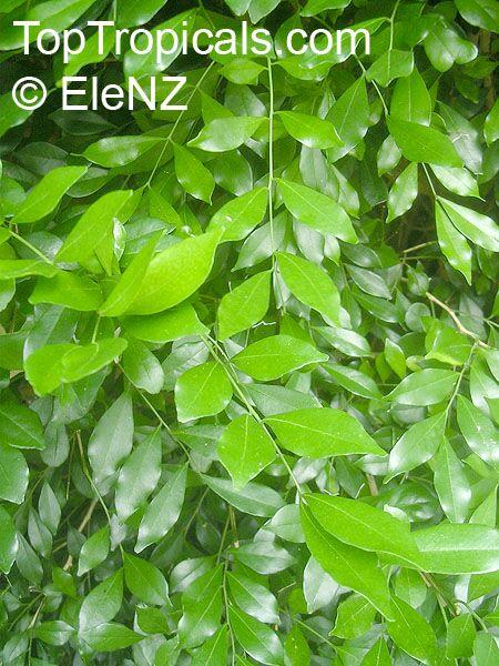 http://toptropicals.com/pics/garden/m1/EleNZ2/Murraya_paniculata061el.jpg