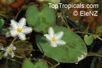 Nymphoides sp., Floating hearts