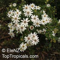 Olearia phlogopappa, Dusty Daisy Bush  Click to see full-size image