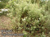 Olearia phlogopappa, Dusty Daisy BushClick to see full-size image