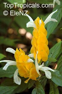 Pachystachys lutea - Yellow Shrimp plant  Click to see full-size image