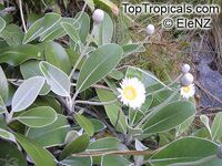 Pachystegia insignis, Olearia insignis, Marlborough Rock Daisy  Click to see full-size image