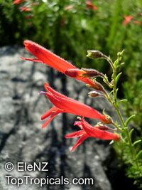 Penstemon pinifolius, Pineleaf Penstemon  Click to see full-size image