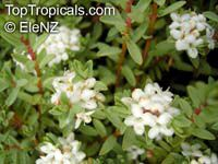 Pimelea prostrata, Pimelea coarctica , Riceflower, Pinatoro, New Zealand Daphne, Strathmore Weed