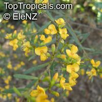Pultenaea flexilis, Fragrant Pultenaea, Graceful Bush Pea  Click to see full-size image
