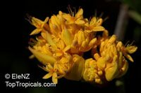 Saraca dives, Saraca chinensis , Sorrowless Tree, Birth Tree of Buddha  Click to see full-size image
