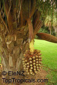 Attalea cephalotus, Scheelea cephalotes, Shapaja, American Oil Palm  Click to see full-size image