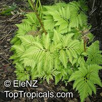 Selaginella sp., SpikemossClick to see full-size image