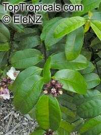 Strophanthus gratus, Climbing oleander, Cream Fruit, Rose allamanda  Click to see full-size image