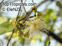 Syzygium suborbiculare, Eugenia suborbicularis, Red Bush Apple, Lady Apple  Click to see full-size image