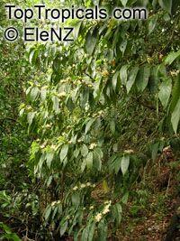 Tarenna sp., TarennaClick to see full-size image