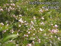 Boronia sp., Boronia  Click to see full-size image