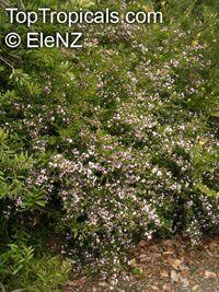 Boronia sp., BoroniaClick to see full-size image