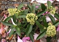 Skimmia sp., Skimmia  Click to see full-size image