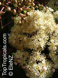 Photinia sp., Photinia