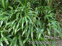 Xiphidium caeruleum, Palmita, Soskia, Cola de Paloma   Click to see full-size image