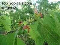 Helicteres isora, Maror-phaliClick to see full-size image