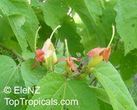 Helicteres isora, Maror-phali  Click to see full-size image