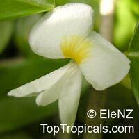 Baphia nitida , Barwood, Camwood, African Sandalwood  Click to see full-size image