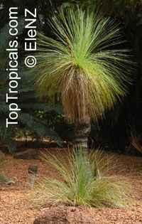 Xanthorrhoea australis - seeds
