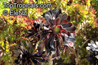 Aeonium arboreum, Sempervivum arboreum, Tree Aeonium, Houseleek Tree, Irish Rose  Click to see full-size image