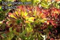 Aeonium sp., AeoniumClick to see full-size image