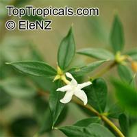 Alyxia ruscifolia, Chainfruit, Prickly Alyxia, Sea-Box  Click to see full-size image