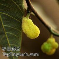 Artocarpus glaucus, Artocarpus  Click to see full-size image