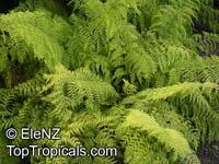 Asplenium bulbiferum, Mother Spleenwort  Click to see full-size image