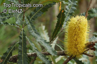 Banksia dentata, Tropical Banksia  Click to see full-size image