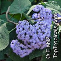 Bartlettina sordida, Eupatorium sordidum, Eupatorium megalophyllum, Purple TorchClick to see full-size image