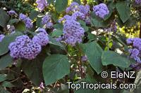 Bartlettina sordida, Eupatorium sordidum, Eupatorium megalophyllum, Purple Torch  Click to see full-size image