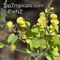 Bauhinia cunninghamii, Lysiphyllum cunninghamii , Jigal Tree, Kimberley Bauhinia  Click to see full-size image