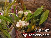 Bifrenaria harrisoniae, Dendrobium harrisoniae, Bifrenaria  Click to see full-size image