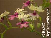Calanthe sp., Calanthe  Click to see full-size image