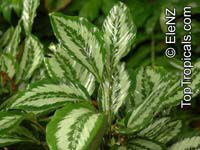 Calathea sp., CalatheaClick to see full-size image