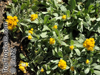 Chrysocephalum apiculatum, Yellow Buttons
