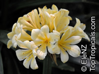 Clivia miniata, Bush Lily, Boslelie