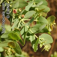 Corymbia setosa, Eucalyptus setosa , Rough-leaved Bloodwood