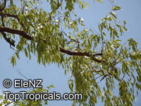 Corymbia terminalis, Eucalyptus terminalis, Bloodwood  Click to see full-size image