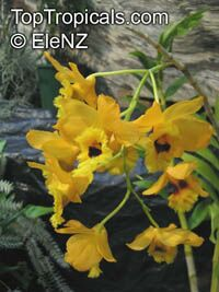 Dendrobium fimbriatum, Fringed-lipped Dendrobium  Click to see full-size image