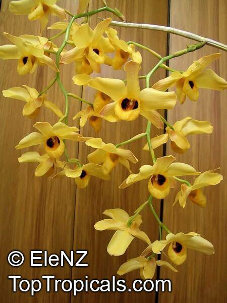 Dendrobium Sp Dendrobium Orchid Toptropicals Com