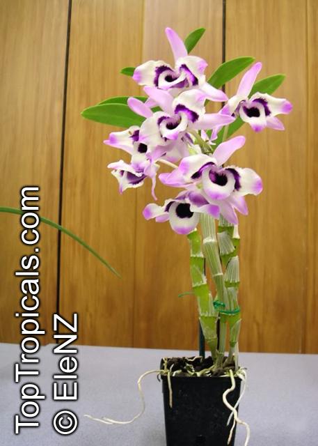 Dendrobium Gallery Page 2 Toptropicals Com