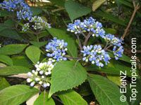 Dichroa versicolor, Dichroa  Click to see full-size image
