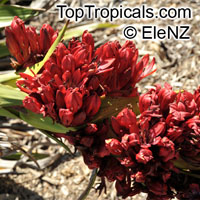Doryanthes palmeri, Giant Spear Lily, Queensland Mountain Lily  Click to see full-size image
