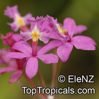 Epidendrum sp., Reed Orchid, Epidendrum Orchid, Clustered Flowers Orchid  Click to see full-size image