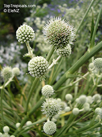 Eryngium sp., Sea-holly